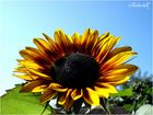 Sunflower grows up to the Sky