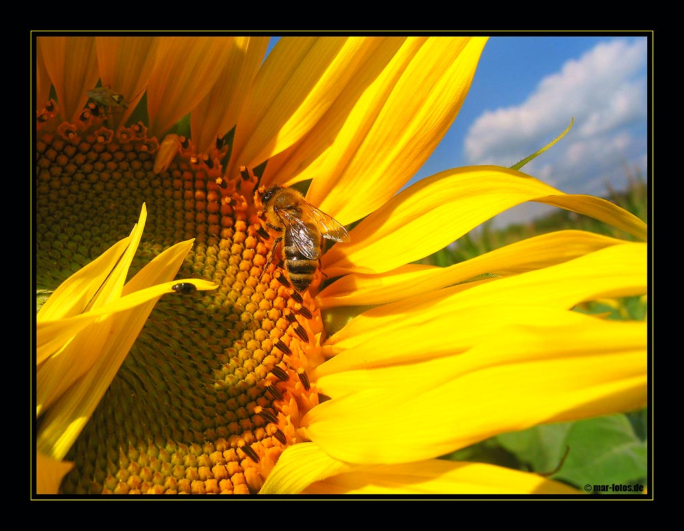 *** sunflower II ***