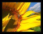 *** sunflower II ***