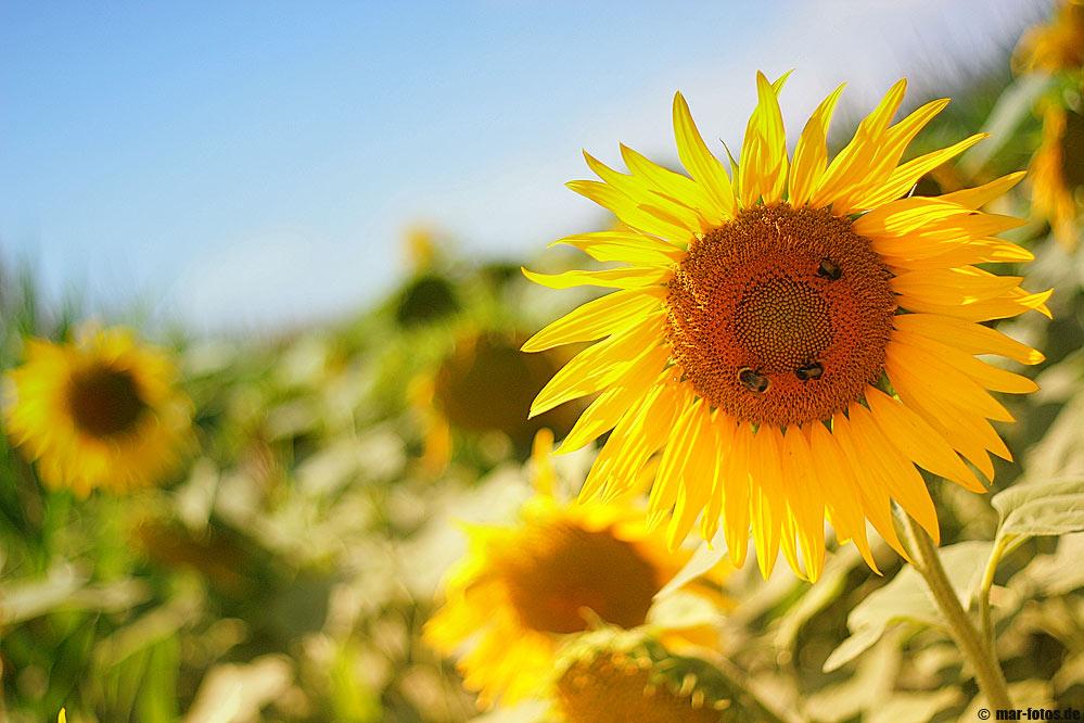 *** sunflower III ***