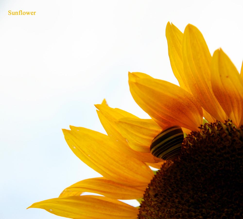 sunflower mit Schnecke