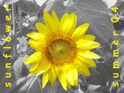 sunflower - summer 04