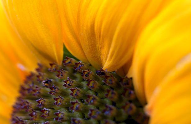 sunflower-time