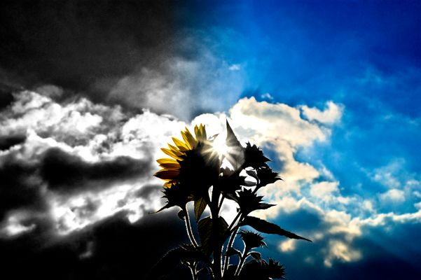 Sunflower vs. Sun