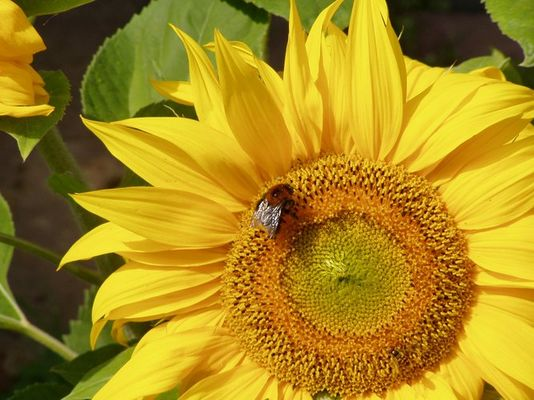 Sunflower with Bumble Bee