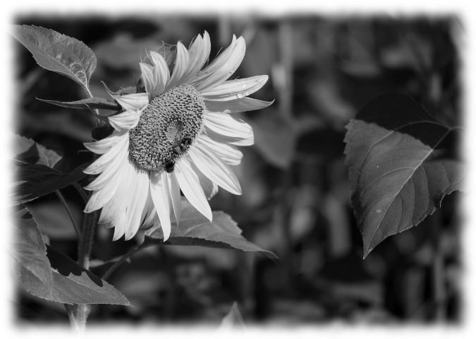 ...sunflower_0003...