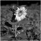 ...sunflower_0004...