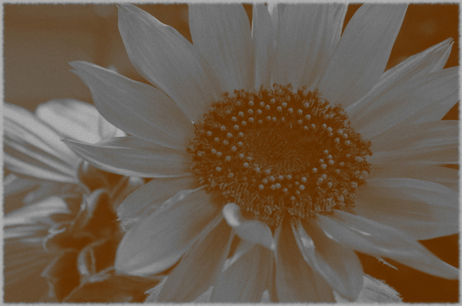 ...sunflower_0009...