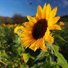 sunflower&bee