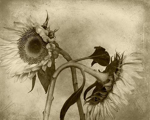 Sunflowers #5