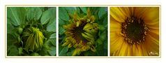 Sunflowers von Ada80