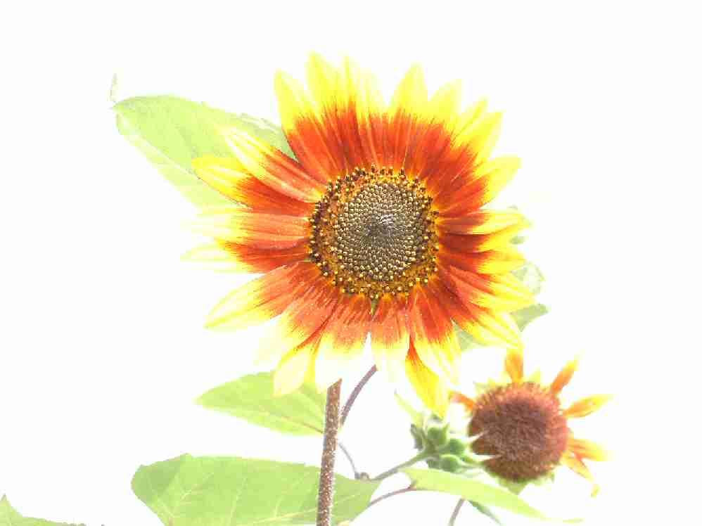 Sunflowers enjoying the sun