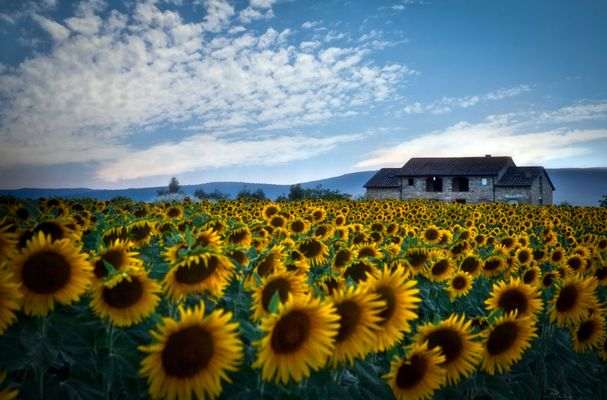Sunflowers Field................