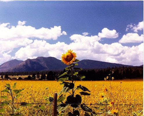 Sunflowers Field of Dreams
