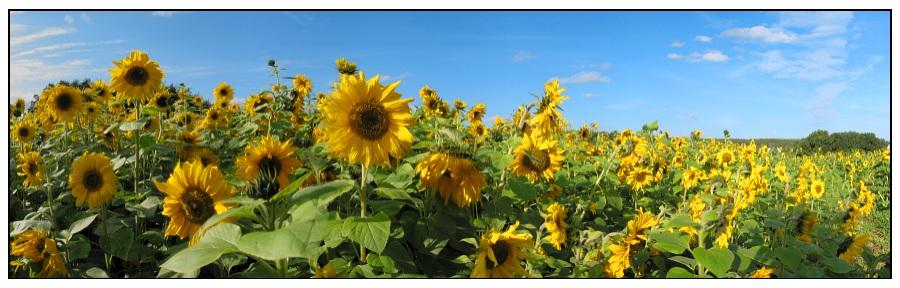 Sunflowers forever (Panorama)
