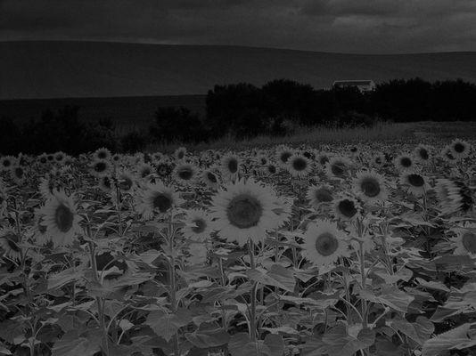 sunflowers in b/w