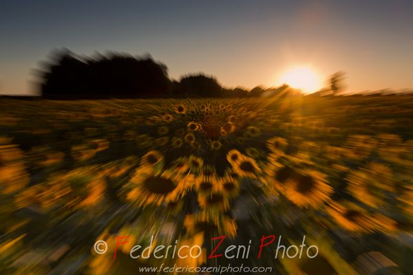 Sunflowers in motion