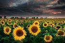 Sunflowers of the Storm von mibreit