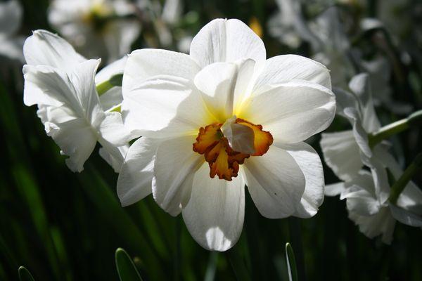 Sunny daffodil