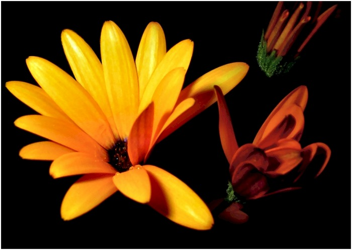 Sunny - Osteospermum