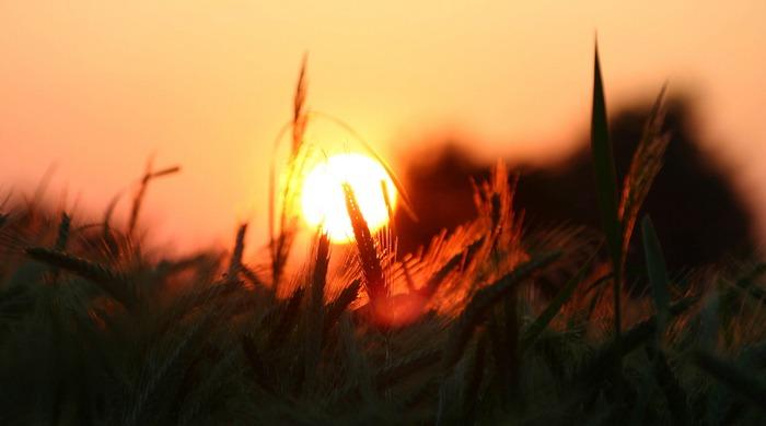 Sunrise in the corn field