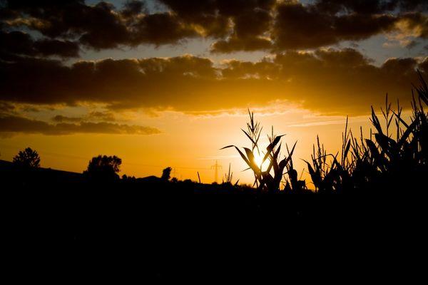 sunset am maisfeld