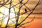 Sunset Birdy