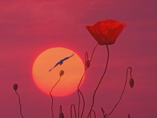 sunset by the poppy