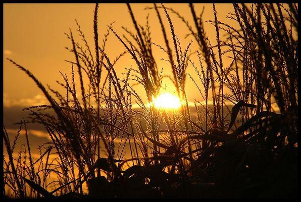 Sunset in a Cornfield