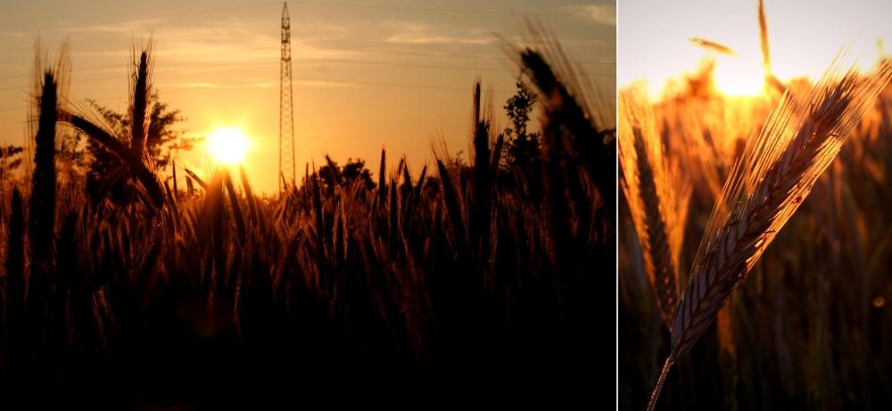 Sunset in the cornfield
