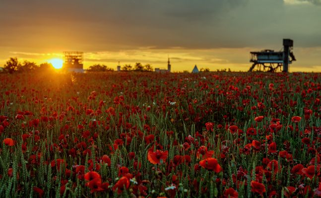 sunset in the Poppyfield