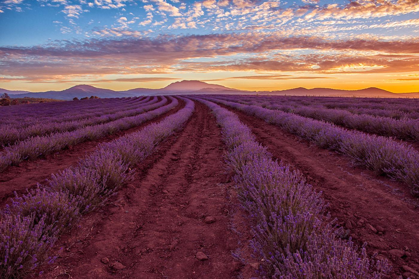 Sunset Lavender Farm