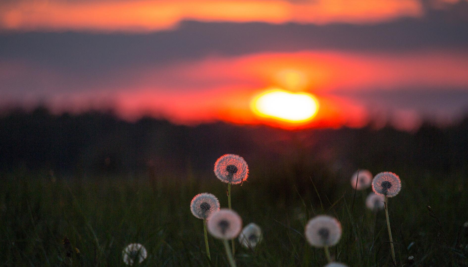 Sunset Pusteblume