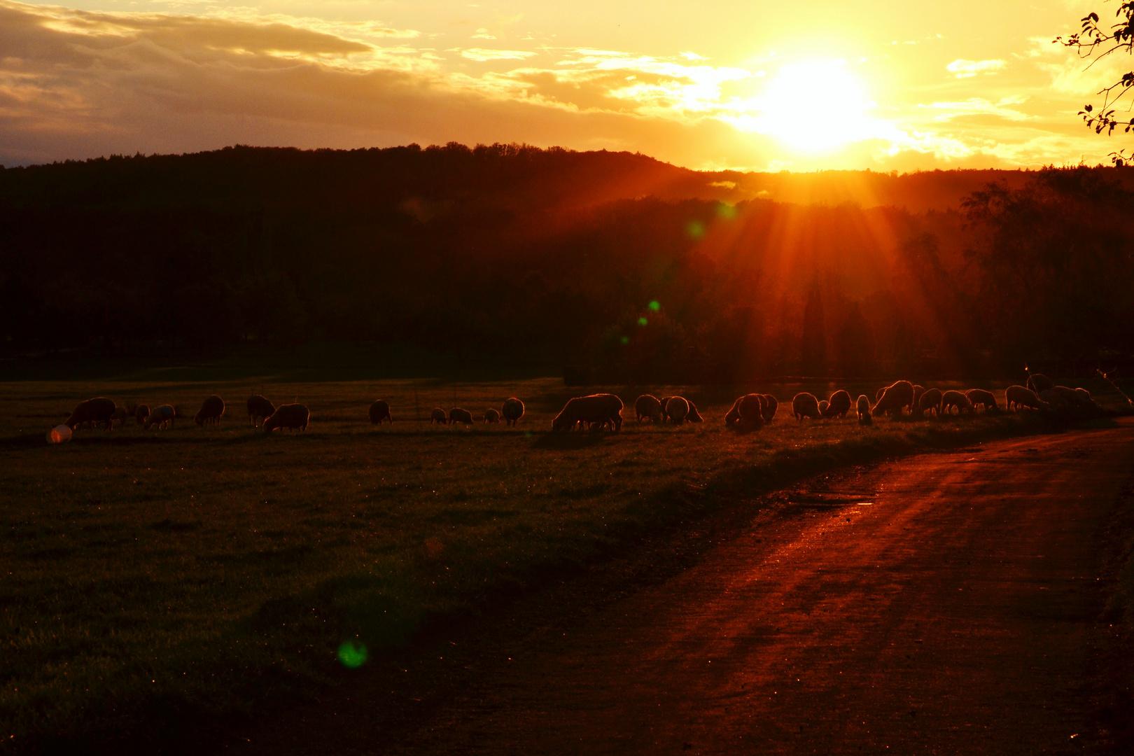 Sunset Sheep
