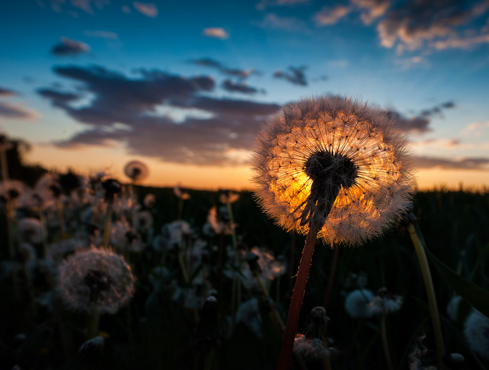 sunset through the pusteblume