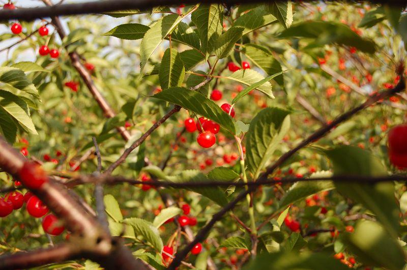 Sunshine cherry's