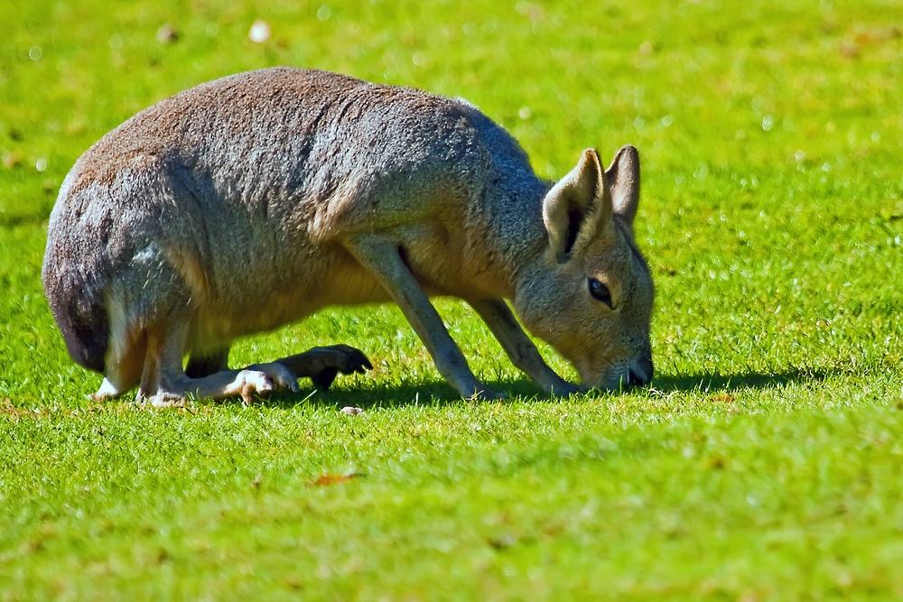 Super Bio-Rasenmäher - garantiert auch golfplatztauglich.