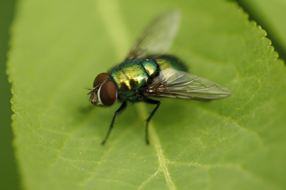 Super Fliege