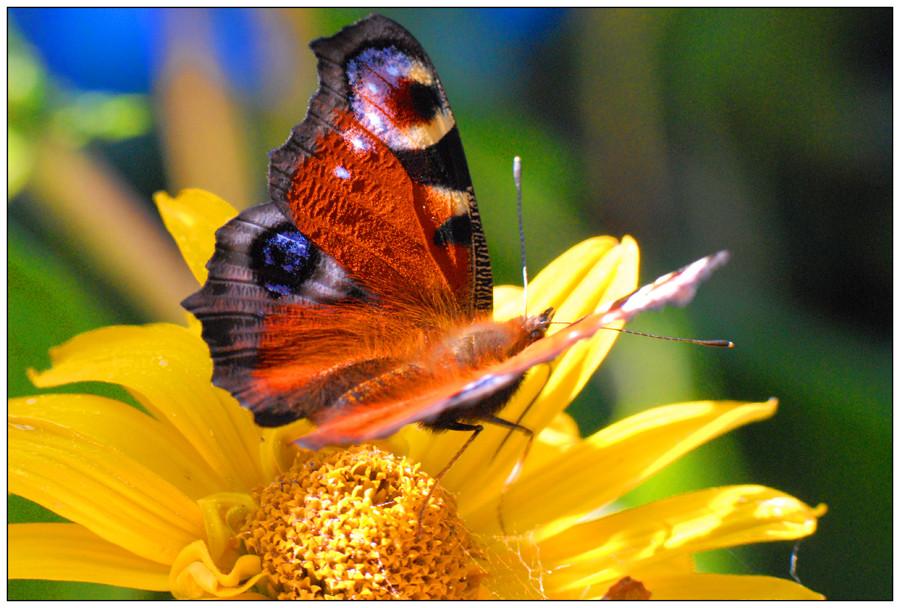 Sur fleur jaune (1)