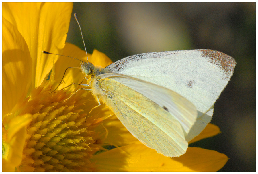 Sur fleur jaune (2)