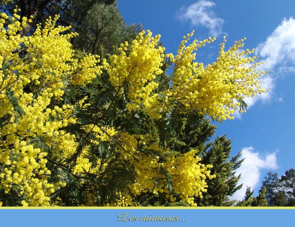 sur fonds d'azur... des petits pois jaunes .... le mimosa