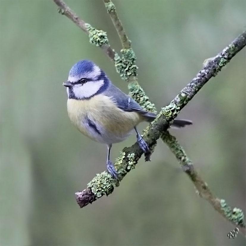 sur le bout de la branche... la petite bleue