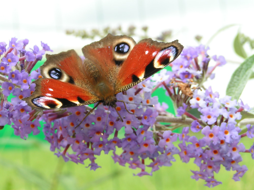 Sur un arbre à papillons....