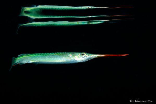 surface fish