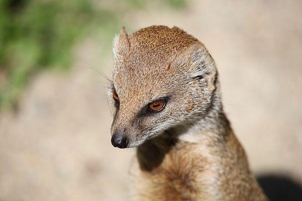 suricata suricatta - erdmaennchen