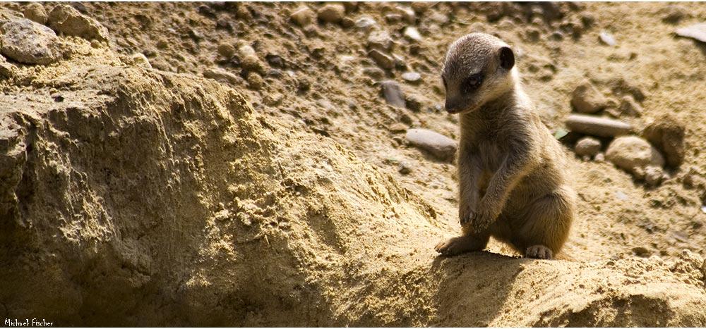 [Suricata suricatta | Slender-tailed Meerkat]