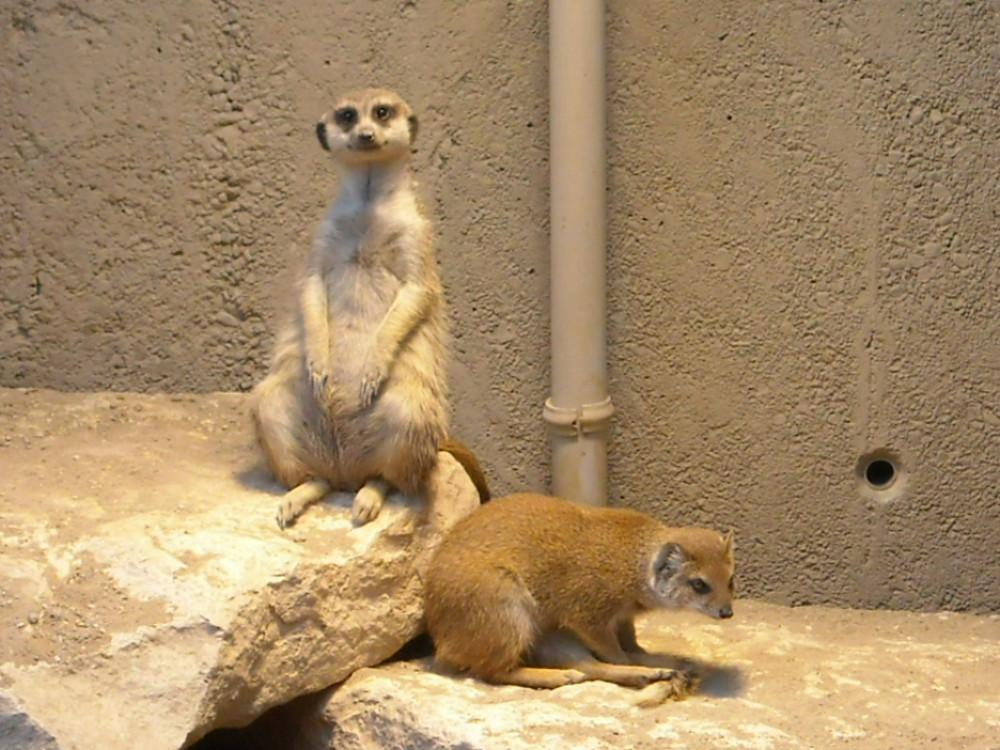 Suricates [zoo Knie]
