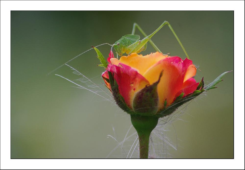 Surplombant la rose