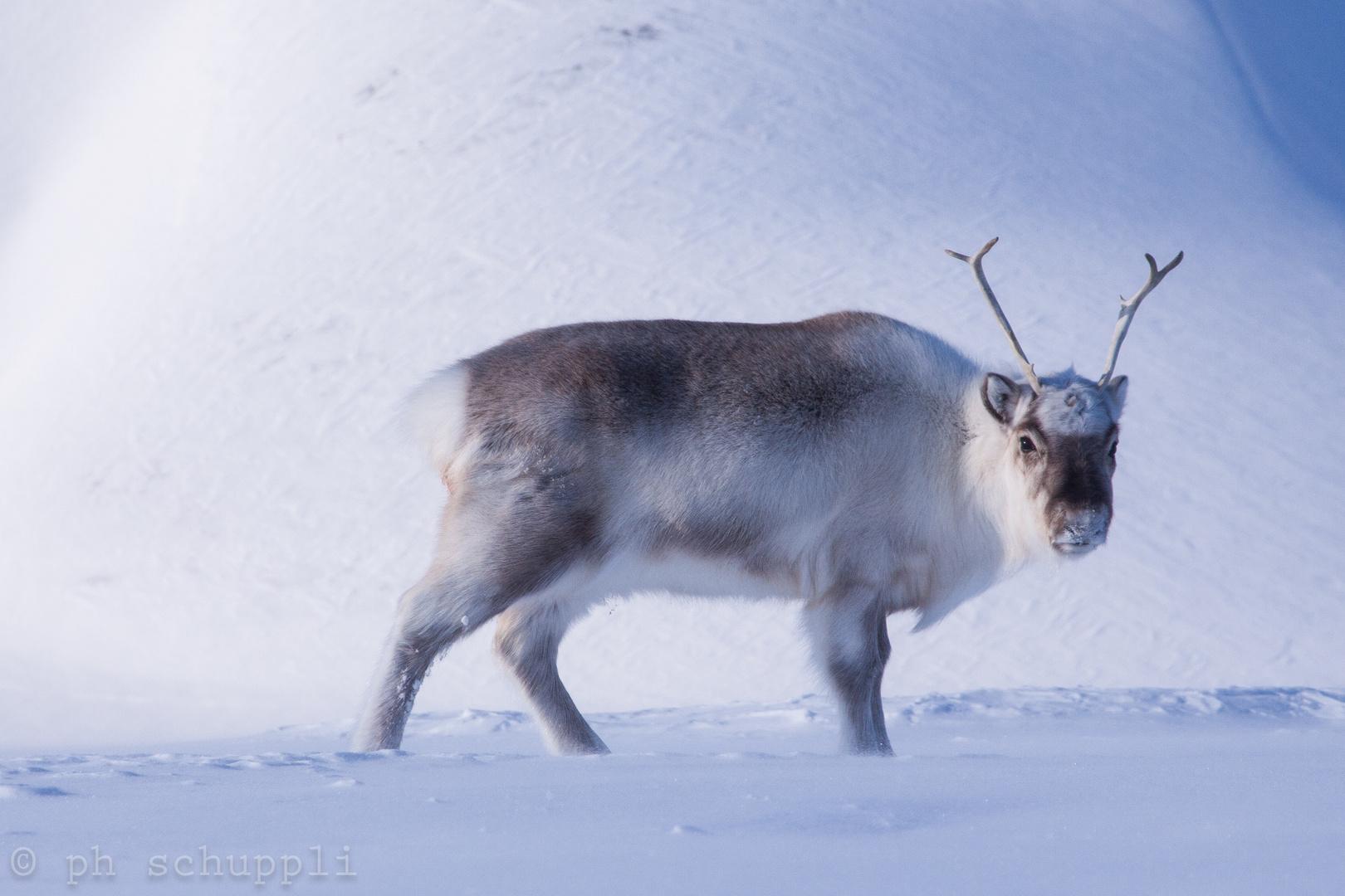 Svalbard Rentier