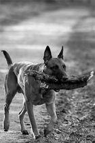 S/W-Aufnahme Belgischer Schäferhund - Malinois - edit